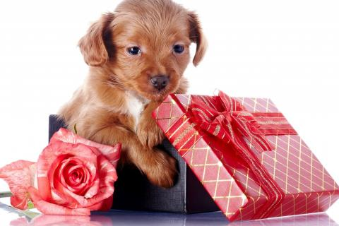 cute-gift-red-puppy-1525-480x320